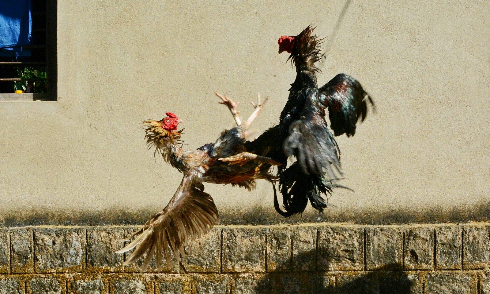 Macam-macam Trik Menang Sabung Ayam Online