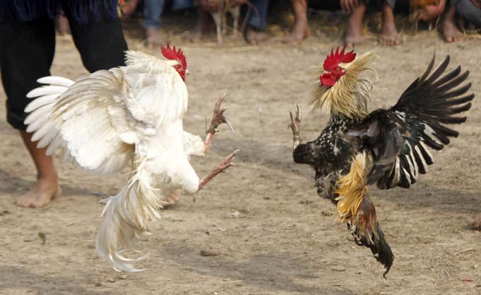 Makanan Terbaik Untuk Ayam Aduan Yang Dijagokan